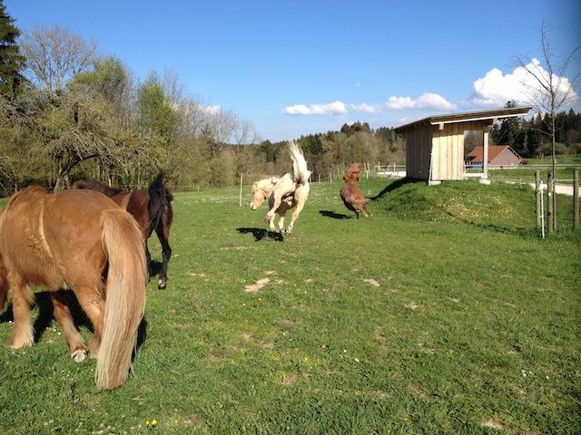 MItte April 2014- die Pferde freuen sich über den ersten Koppelgang
