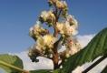 Kastanienblüte Ende April